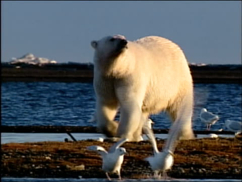 wide shot polar bear walking among seagulls  with ocean in background / alaska - arctic national wildlife refuge stock videos & royalty-free footage