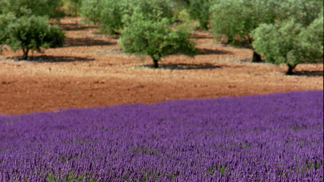 vidéos et rushes de wide shot rack focus wind blowing through field of lavender flowers + olive trees in background / france - french culture