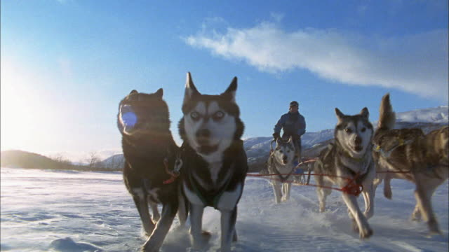 Wide shot rear point of view Siberian Husky sled dogs pulling man on snowy field / Sweden