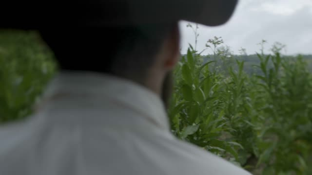 wide shot of a farmer in the tobacco field - xvii° secolo video stock e b–roll