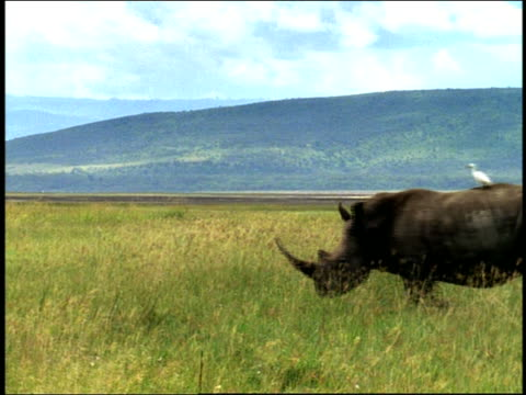 wide shot rhinoceros with bird on its back walking by followed by baby rhinoceros - sparklondon stock videos and b-roll footage