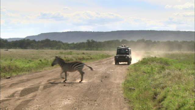 Wide shot safari vehicle driving down dusty road as 3 zebras cross road / Masai Mara, Kenya