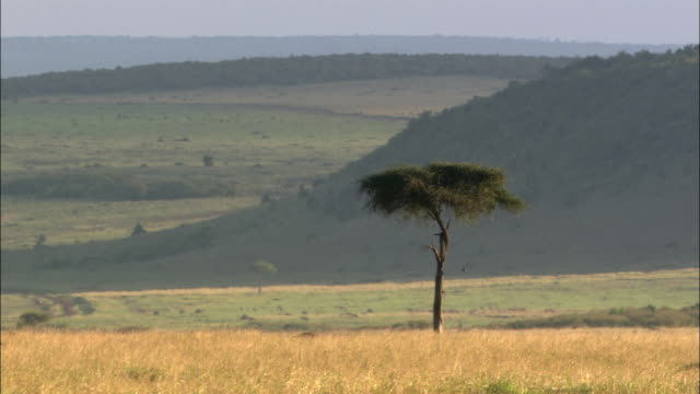 wide shot safari vehicle driving past acacia tree on hot, hazy and hilly landscape / masai mara, kenya - 4x4 stock videos and b-roll footage