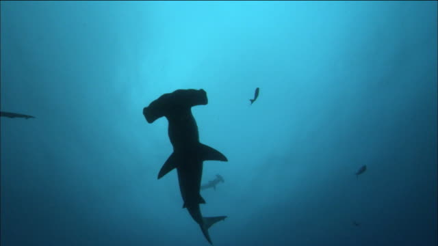 wide shot scalloped hammerhead sharks and other fish swimming / cocos island, costa rica - costa rica stock videos & royalty-free footage