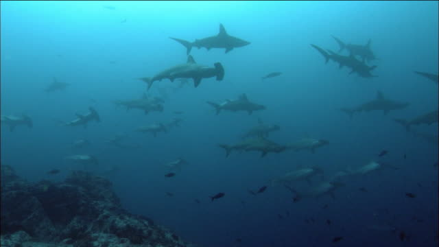 wide shot school of scalloped hammerhead sharks swimming / cocos island, costa rica - costa rica stock videos & royalty-free footage