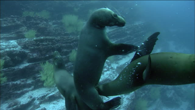 wide shot sea lions swimming and playing with each other  / galapagos islands, ecuador - sea lion stock videos & royalty-free footage