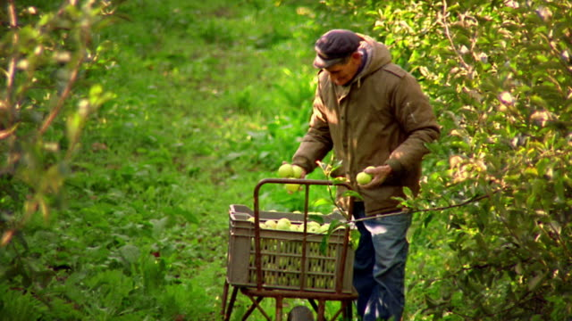 vídeos de stock, filmes e b-roll de wide shot senior man picking apples in orchard and putting them in crate / provence, france - french culture