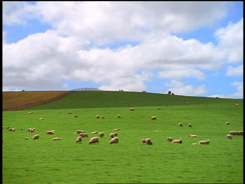 wide shot PAN sheep grazing near fence on grassy hill / North Island, Rotorua / New Zealand