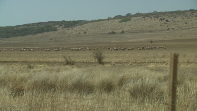 wide shot sheep grazing on dry farmland paddock, barbed wire fences in foreground - fence stock videos & royalty-free footage