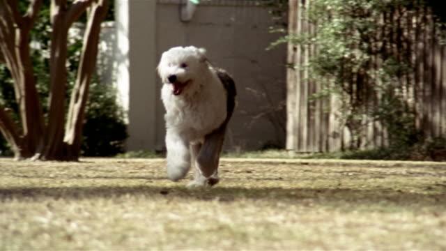 wide shot sheepdog running over grass toward camera/ dog running past camera/ dallas, texas - sheepdog stock videos & royalty-free footage