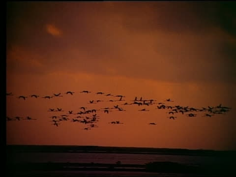 wide shot silhouette of flock of birds flies over water at sunset - medium group of animals stock videos & royalty-free footage