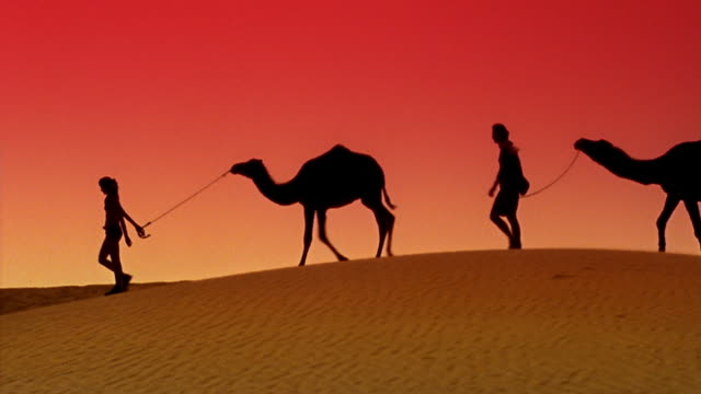 vidéos et rushes de wide shot silhouette of woman and man leading camels on sand dune in desert / morocco - cadrage en pied