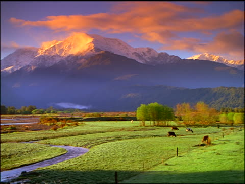 wide shot snow-capped Mt. Thor / cattle grazing in green field in foreground / North Island, Rotorua / New Zealand