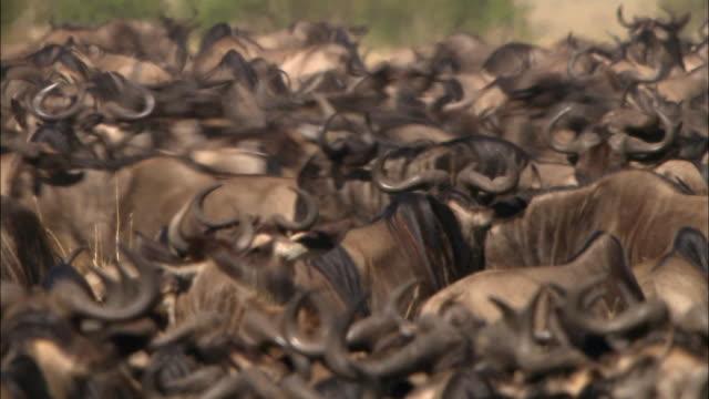 stockvideo's en b-roll-footage met wide shot stampede erupting in midst of dense cluster of migrating wildebeests / masai mara, kenya - op hol slaan
