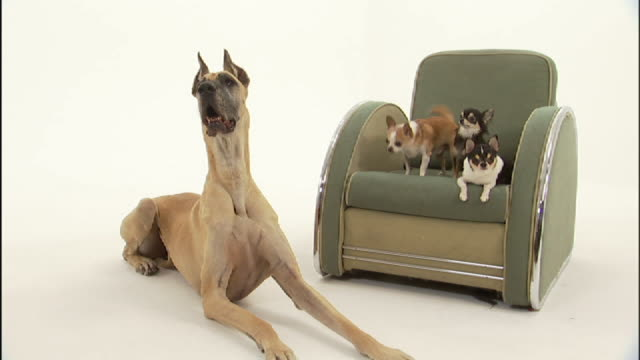 Wide Shot static - A Great Dane lies on a white floor next to three Chihuahuas that sit on a chair.