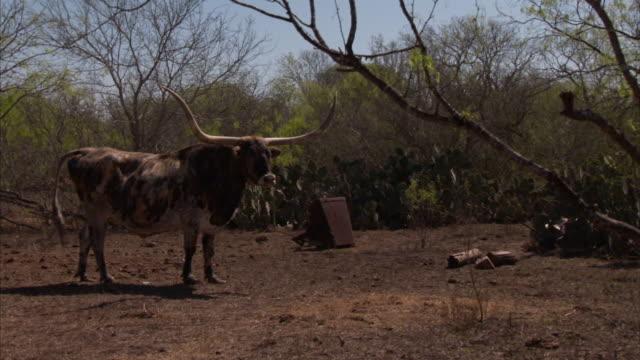 stockvideo's en b-roll-footage met wide shot static - a longhorn swings its horns near rusty metal and cacti. / dallas, texas, usa - texas longhorn