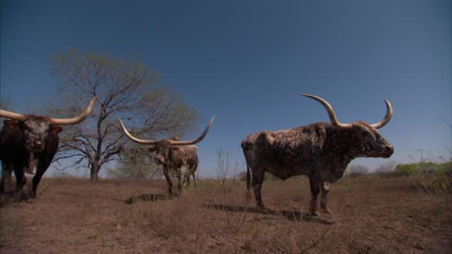 stockvideo's en b-roll-footage met wide shot static - longhorn cattle graze near a tree. / dallas, texas, usa - texas longhorn