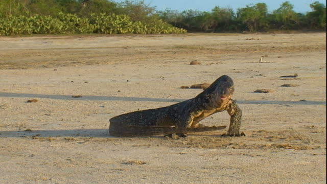 wide shot static - monitor lizard swings its tail, kicking up sand. / sri lanka - lizard stock videos and b-roll footage