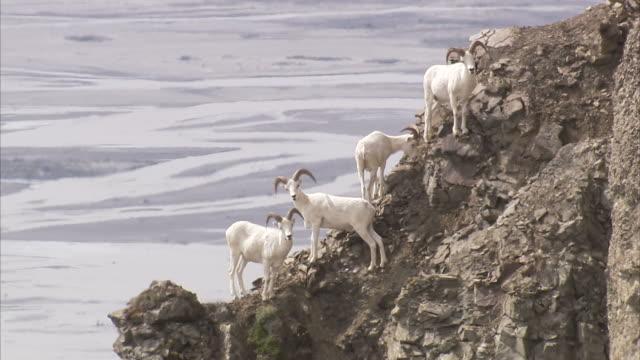 """Wide Shot static-A Dall sheep flock stands above a fjord on a narrow rocky ledge. / Alaska, USA"""