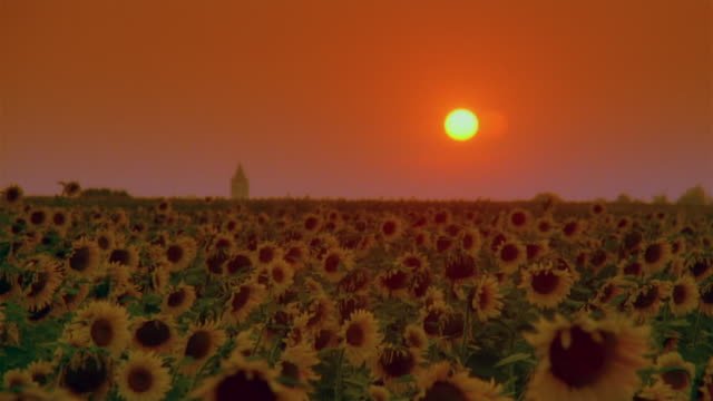 Wide shot Sun setting in orange sky behind sunflowers blowing in field
