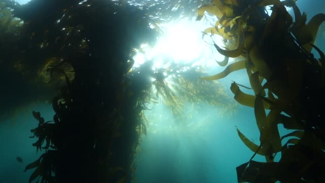 vidéos et rushes de wide shot: sun shining down into ocean, tall seaweed plants floating - varech