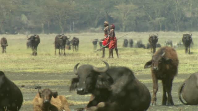 wide shot - thousands of flies swarm around resting african buffaloes as two maasai warriors walk past / kenya - krieger menschliche tätigkeit stock-videos und b-roll-filmmaterial
