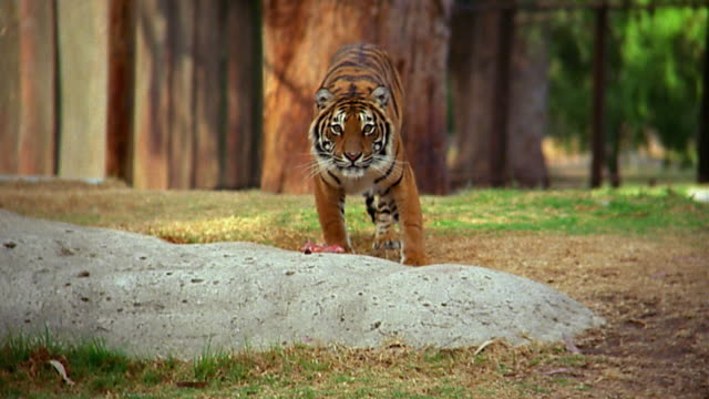 stockvideo's en b-roll-footage met wide shot tiger looking up from piece of meat - dierentuin