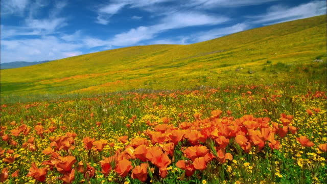 Wide shot tilt down field of orange poppies with yellow buttercups on hillside in background / Lancaster, California