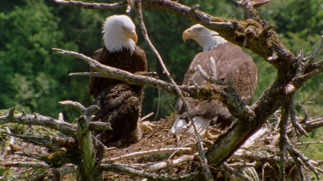 wide shot tilt up bald eagle parents and chick in nest / alaska - eagle bird stock videos and b-roll footage