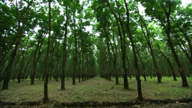 wide shot tilt-down-rubber trees grow evenly spaced apart on a plantation. / guatemala - rubber tree stock videos & royalty-free footage