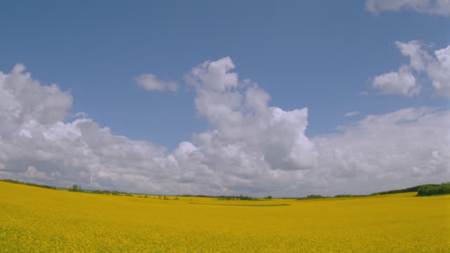 vídeos y material grabado en eventos de stock de wide shot time lapse fluffy white clouds in blue sky over golden rape fields / manitoba - crucifers