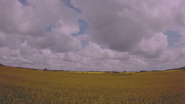 wide shot time lapse fluffy white clouds over golden rape fields / manitoba - crucifers stock videos & royalty-free footage