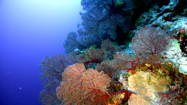 wide shot tracking over coral reef - biodiversity stock videos & royalty-free footage