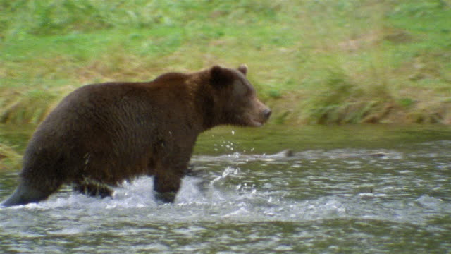 wide shot tracking shot brown bear wading through stream / looking for salmon / admiralty island, alaska - anno 1990 video stock e b–roll