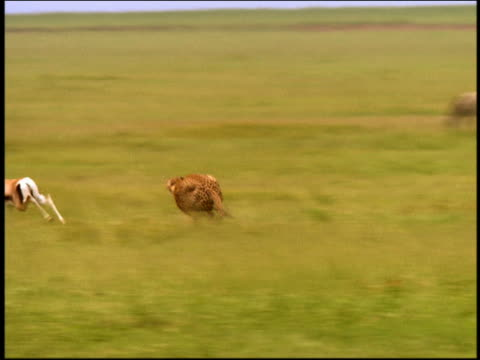 wide shot tracking shot cheetah chasing + catching gazelle on plain / other cheetahs join after kill / Serengeti