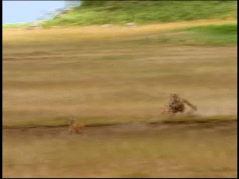 wide shot tracking shot cheetah chasing thomson's gazelle through tall grass / serengeti, tanzania, africa - antelope stock videos & royalty-free footage