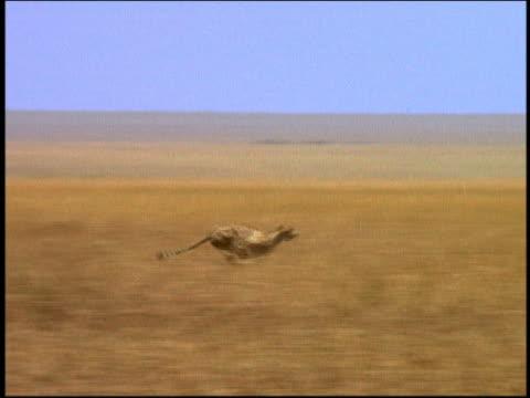 wide shot tracking shot cheetah running across plain / serengeti, tanzania, africa - cheetah stock videos & royalty-free footage