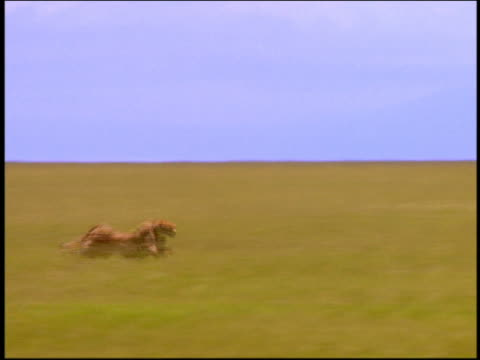 wide shot tracking shot cheetah running across plain / thomson's gazelles running at end / serengeti, tanzania - cheetah stock videos and b-roll footage