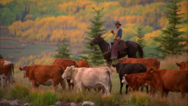 wide shot tracking shot cowboy herding cattle - herding cattle stock videos & royalty-free footage