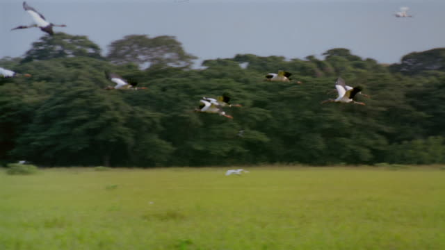 wide shot tracking shot flock of egrets flying over grassy field / venezuela - reihergattung egretta stock-videos und b-roll-filmmaterial
