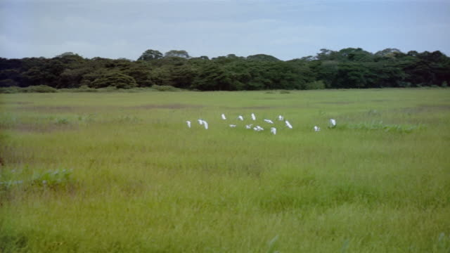 wide shot tracking shot flock of white birds flying across plain with trees in background - birds flying in v formation stock videos and b-roll footage