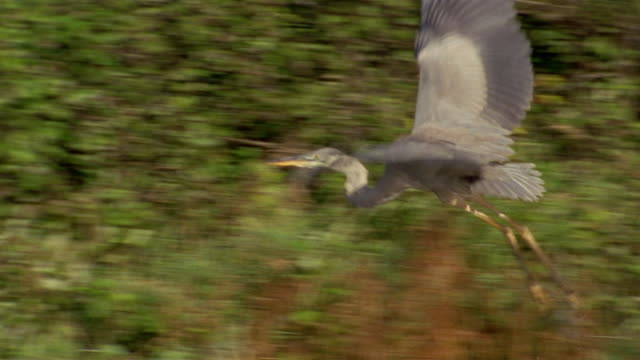 wide shot tracking shot great blue heron taking flight over grasslands - bunter reiher stock-videos und b-roll-filmmaterial