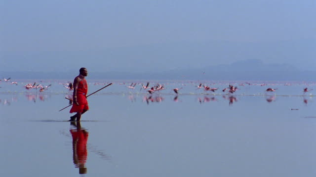 wide shot tracking shot masai tribesman walks through shallow water with flamingos flying in background / kenya - masai stock videos and b-roll footage