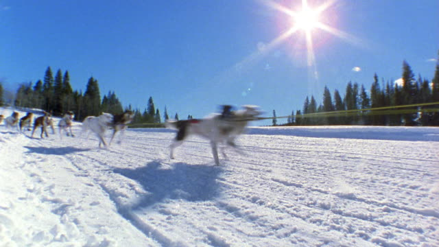 wide shot tracking shot team of dogs pulling man on sled through snow w/pine trees in background and sun shining / colorado, usa - sledge stock videos & royalty-free footage