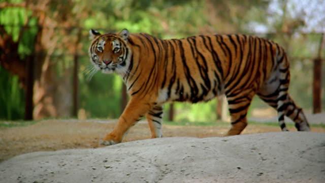 vídeos de stock, filmes e b-roll de wide shot tracking shot tiger walking - jardim zoológico