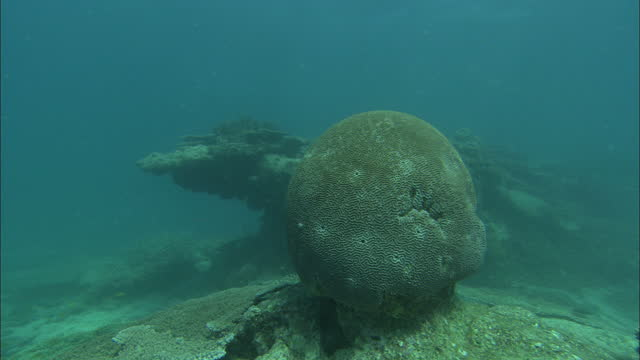 Wide Shot tracking-right - A large brain coral grows in the Great Barrier Reef / Heron Island, Australia