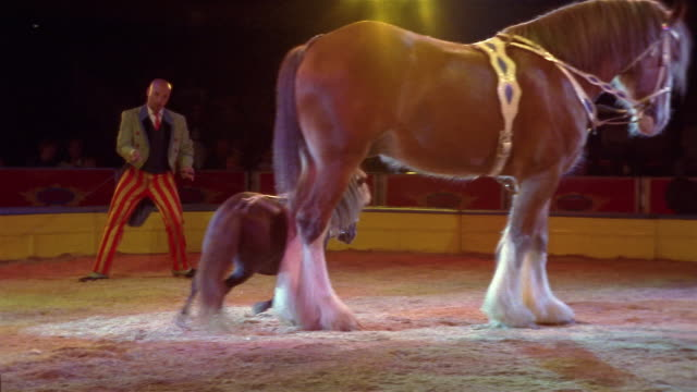 Wide shot trainer commanding pony to run between legs of draft horse at Circo Atayde / Mexico