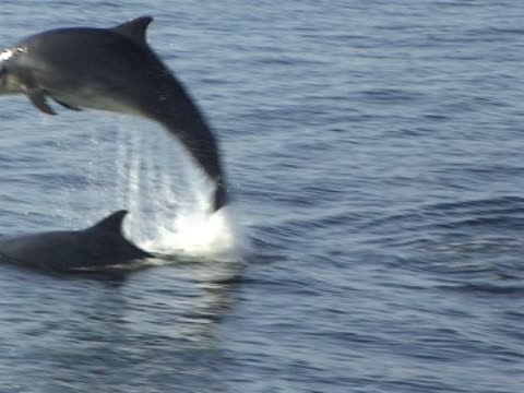 wide shot two bottlenose dolphins leaping and playing - hebrides stock videos & royalty-free footage