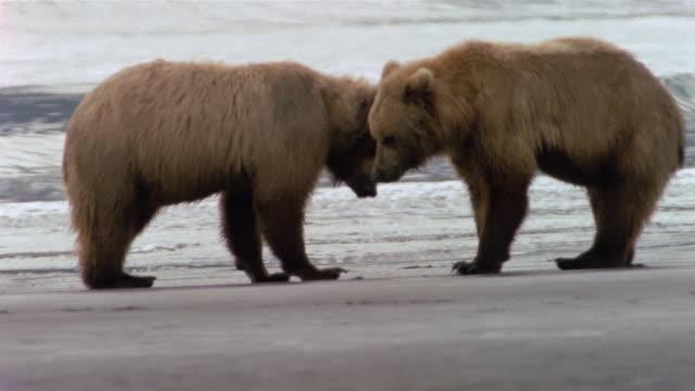 vidéos et rushes de wide shot two brown bear cubs playing on clam-flat on katmai coast / hallo bay, alaska - bay of water