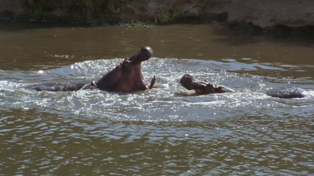 Wide shot two hippopotami fighting in water / Africa